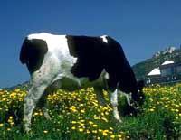 cow-daisy.jpg